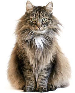 Long hair cat
